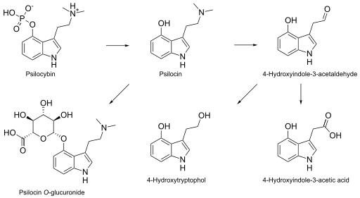 , Psilocybin pharmacokinetics