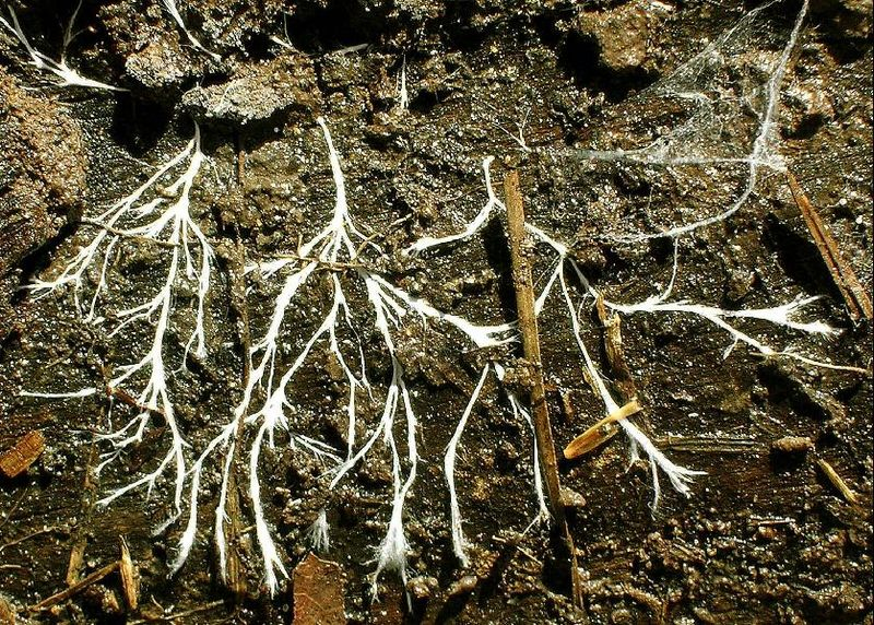 , Mycelia networks, adaptogens, and mental health