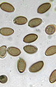 , Psilocybin fungi taxonomies and their endemic habitat